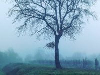 葡萄畑に佇む一本の木